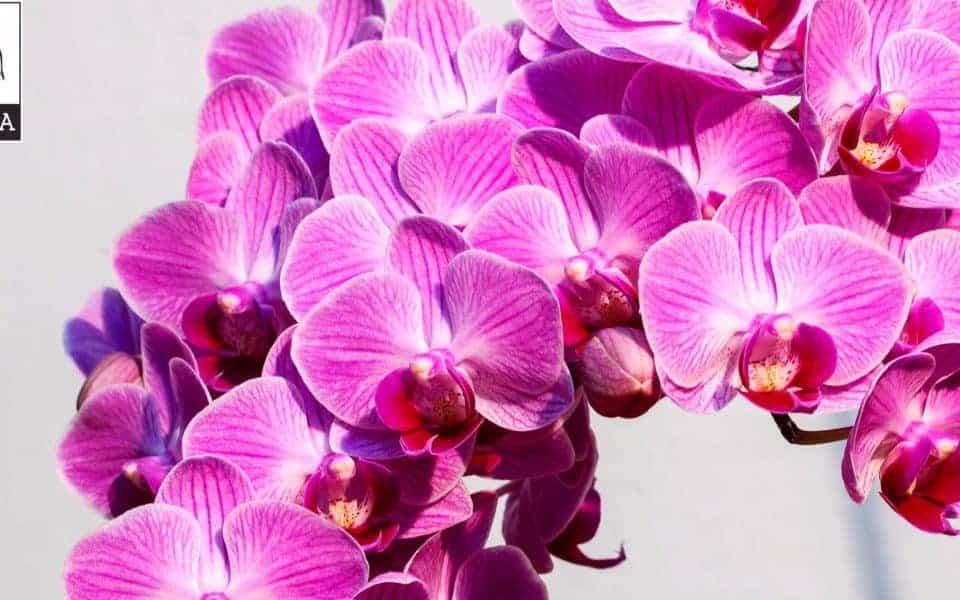 hoa lan quanh năm