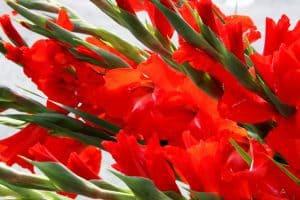 trồng hoa lay ơn