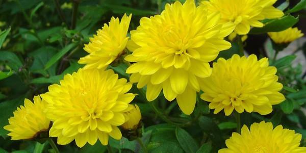 hoa cúc, kỹ thuật trồng, chăm sóc
