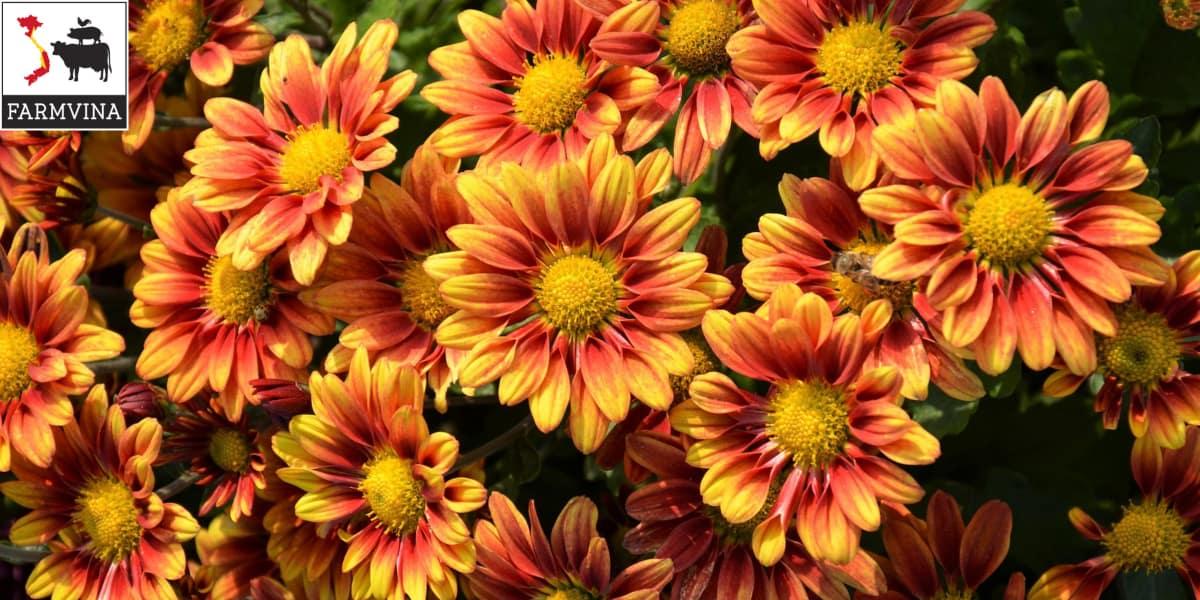 trồng hoa kiểng Nhật Bản