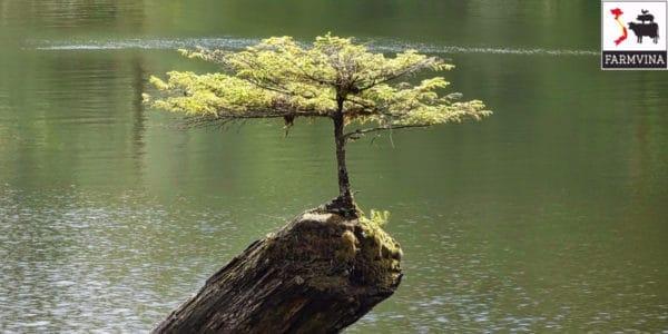 kiểng bonsai