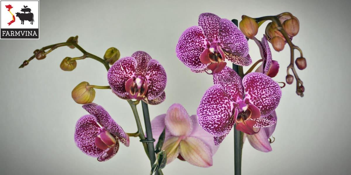 cách tưới phân cho hoa lan