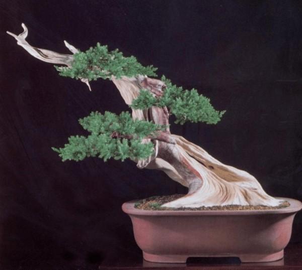 lão hoá bonsai