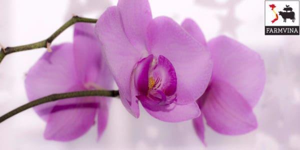 phân hữu cơ trồng hoa lan