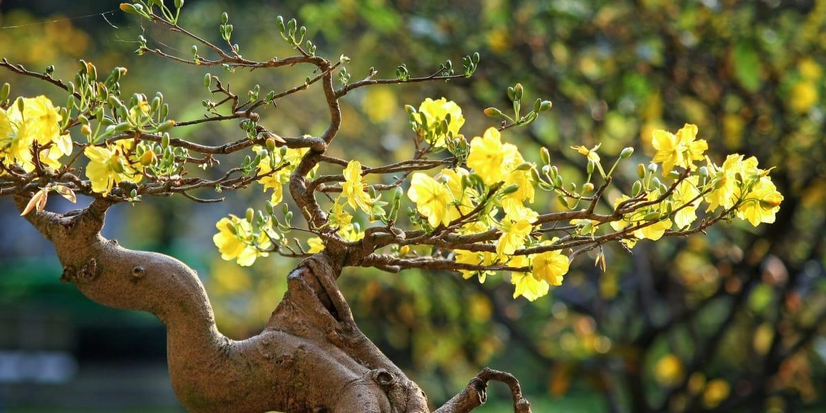 mai nở hoa
