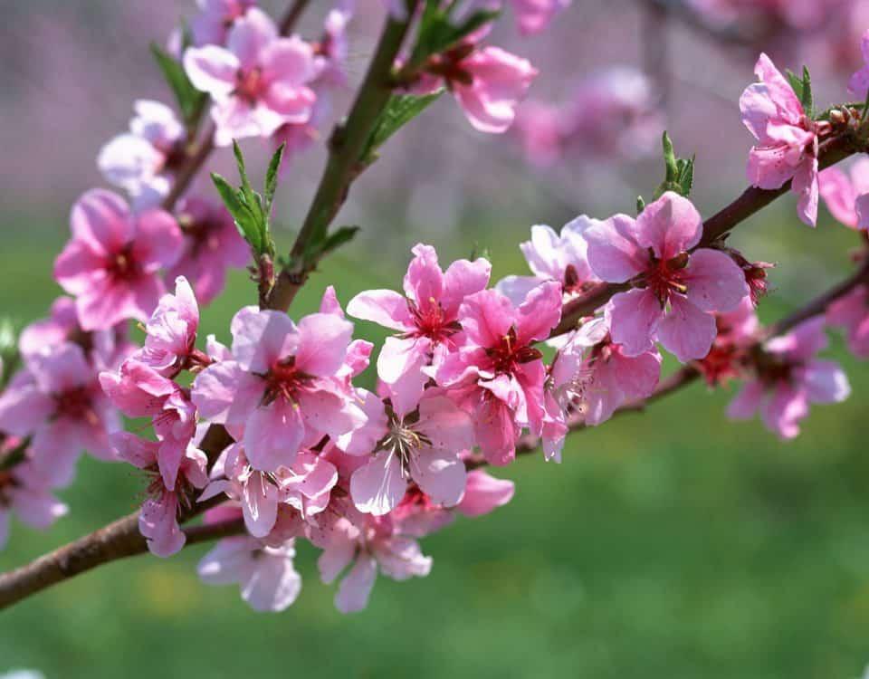 giống hoa đào