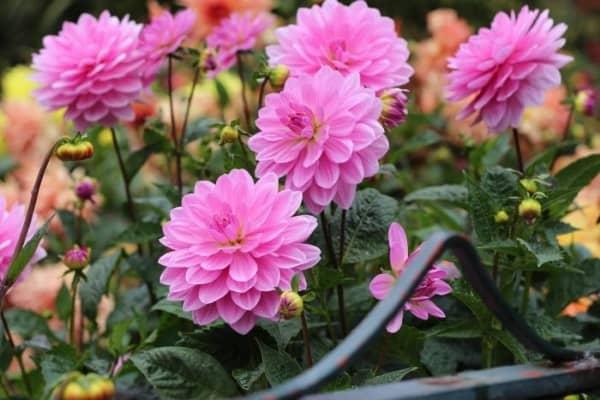 trồng hoa thược dược