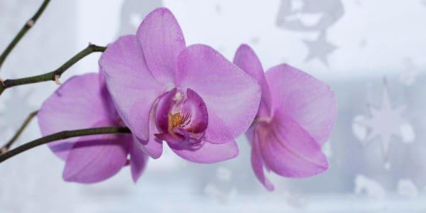 thụ phấn hoa lan