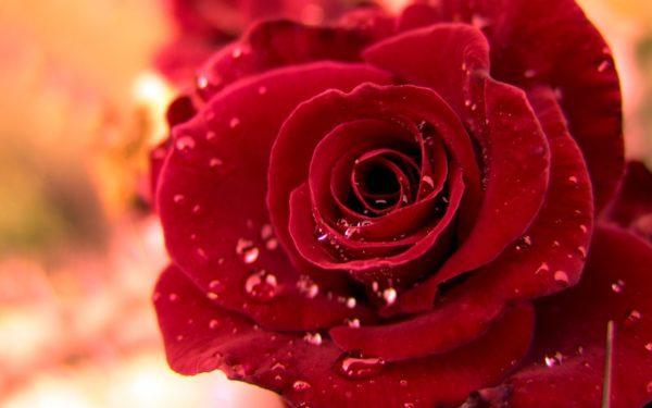 hoa hồng đẹp nhất