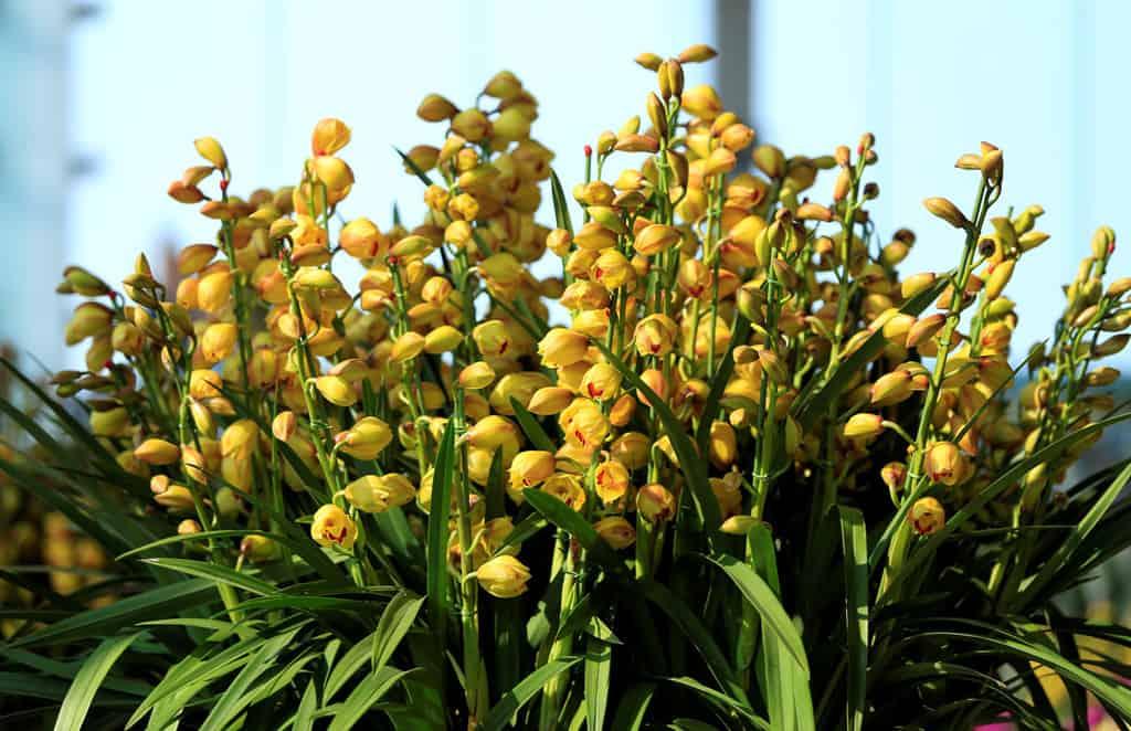 trồng địa lan