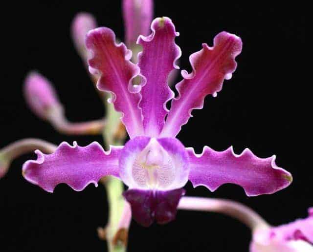 Lan Myrmecophila