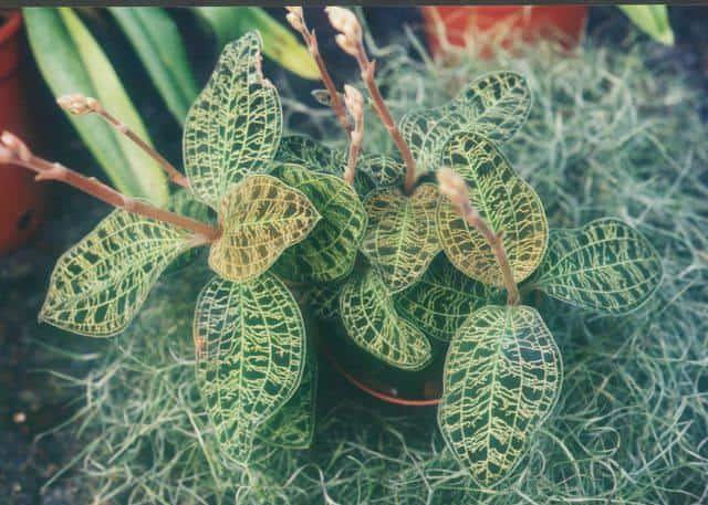 cách trồng lan Macodes