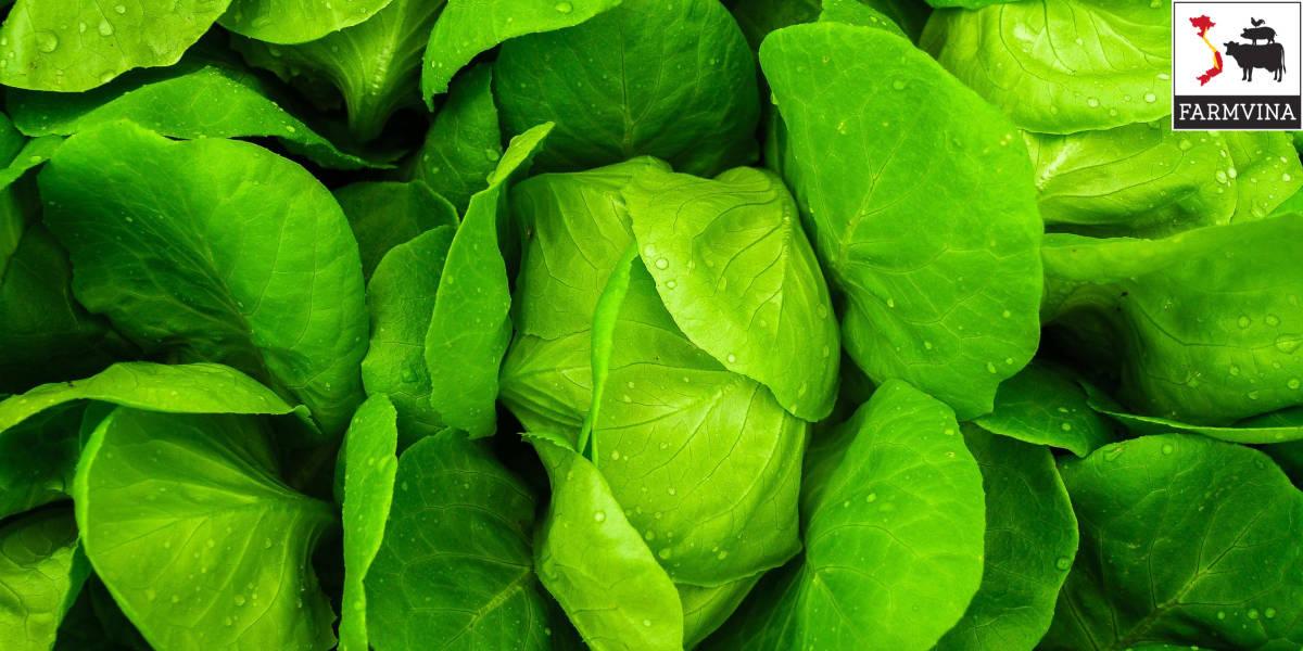 trồng rau cải xanh