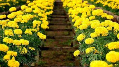 trồng hoa cúc