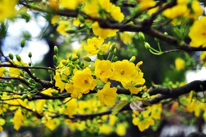 hoa mai nở đúng dịp Tết