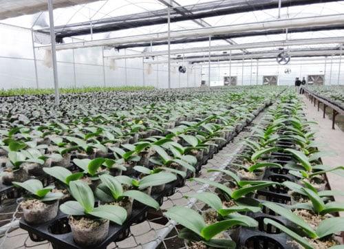 trồng lan hồ điệp