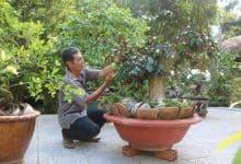bonsai xoài