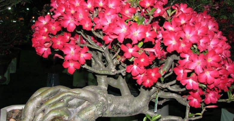 cây sứ