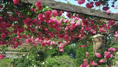 hồng leo giàn