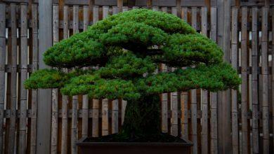 tưới nước bonsai