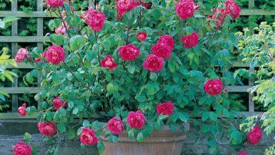 trồng hoa hồng