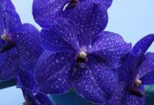 lan Vanda