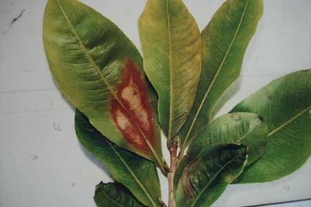bệnh hại cây mai