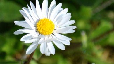 trồng cúc