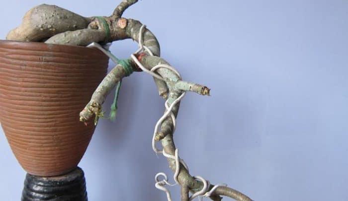 uốn cành bonsai