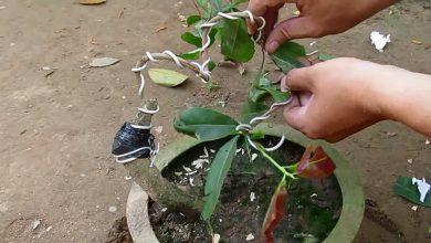 Uốn thân cây