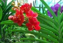 Trồng lan Vanda