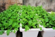 trồng rau trên giá thể
