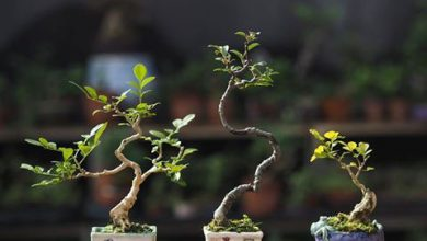 Photo of Tìm hiểu về bonsai mini