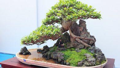 bonsai yên tử